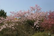prunus-accolade-cece09040301