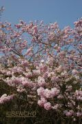 prunus-accolade-cece09040302