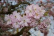prunus-accolade-cece09040309