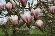 magnolia-bjuv-herkenrode090405-03